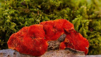 Photo of Fungo Reishi migliore per dimagrire (Ganoderma Lucidum)