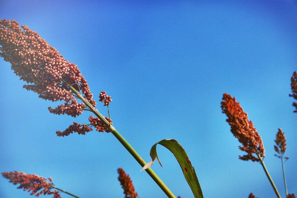pianta dell'aloe ferox