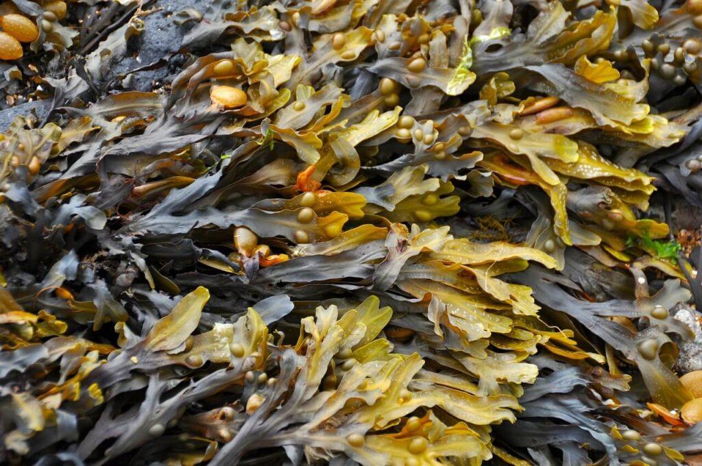 alga fucus ricca di iodio