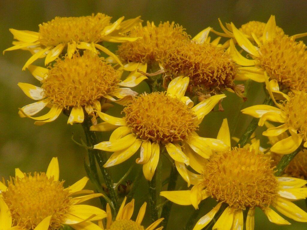 fiori di arnica